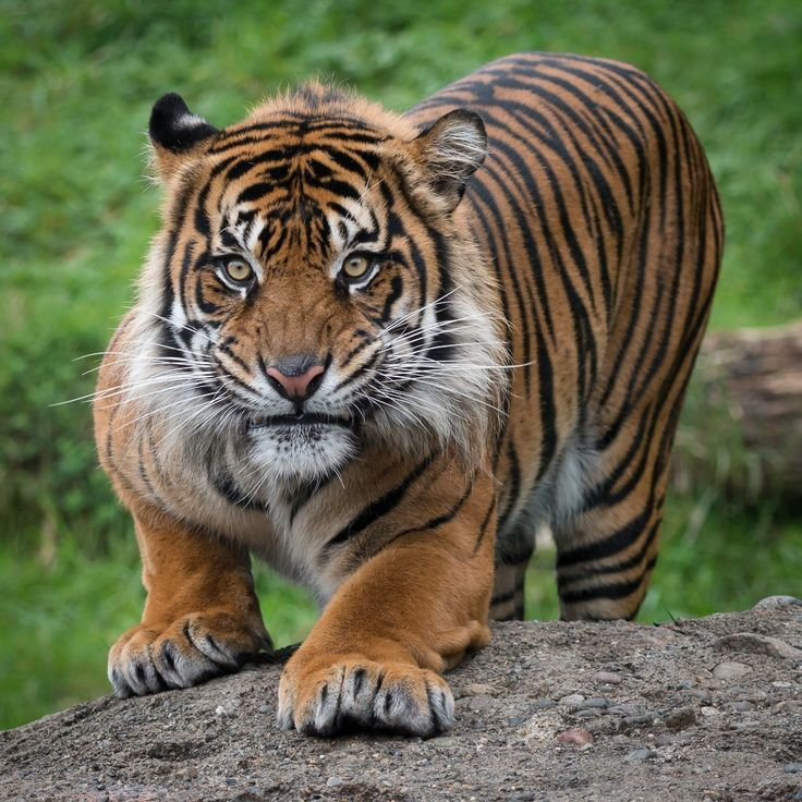 17 Best Ideas About Tiger Stripe Tattoo On Pinterest