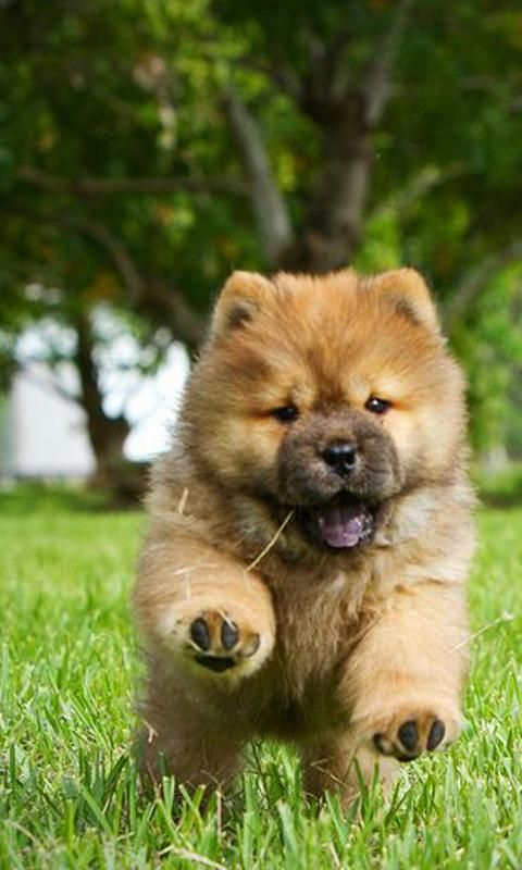 29 Popular Chow Dog Pictures for Dog Lovers