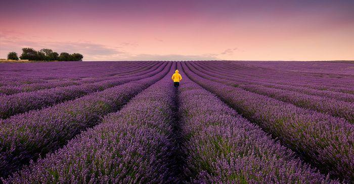 """Lavendar Lane"" by Shyama Prasad Mishra -  #fstoppers #Landscape #2015 #CopyRightShyama #europe #Hitchin #Lavender #lavenderfield #selfie #Travel #uk"