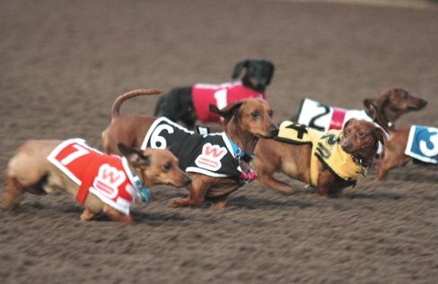 Weenie dog race!: Racing Sausages, Weenie Dogs, Dachshund Racing, Dogs Racers, Racing Dachshund, Dogs Racing, Weenie Racing, Wiener Dogs, Sausages Dogs