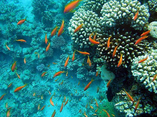 Sinaasappel koraal Oceaan vissen