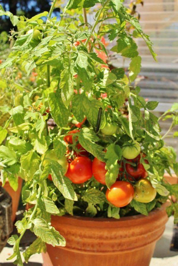 Tomaten in Töpfen anbauen? Beachten Sie diese 13 grundlegenden Tipps für den Tomatenanbau in Behältern ...