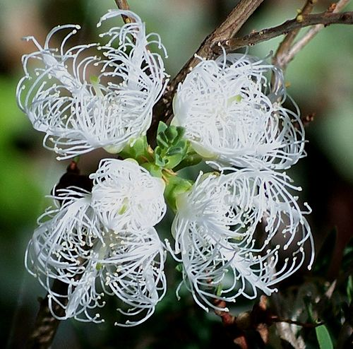 Melaleuca thymifolia 'White Lace' - Google Search