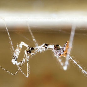 how to kill milkweed bugs australia
