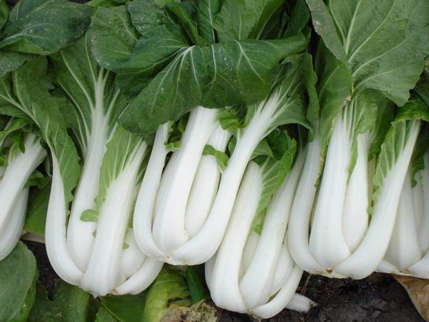 growing pak choi, love this tasty oriental