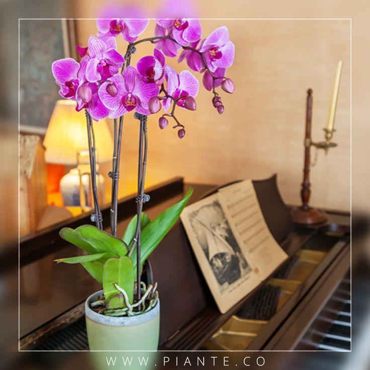 #Piante Las hojas de color verde oscuro indican que su orquídea no está recibiendo suficiente luz. Mueva la planta a una habitación más iluminada, pero evitando siempre la luz solar directa. - http://piante.co/ - #Flores#Premium #Decoración #IdeasDeRegalos #Colombia #OrquídeasDeColombia #ColombianOrchids #Regalos #Regaloscorporativos