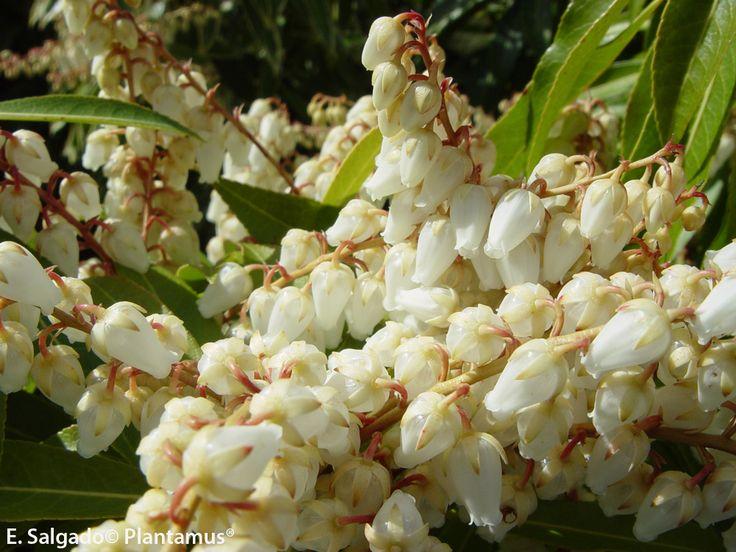88 best Arbustos y árboles pequeños images on Pinterest Shrubs
