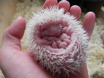 Baby albino hedgehog