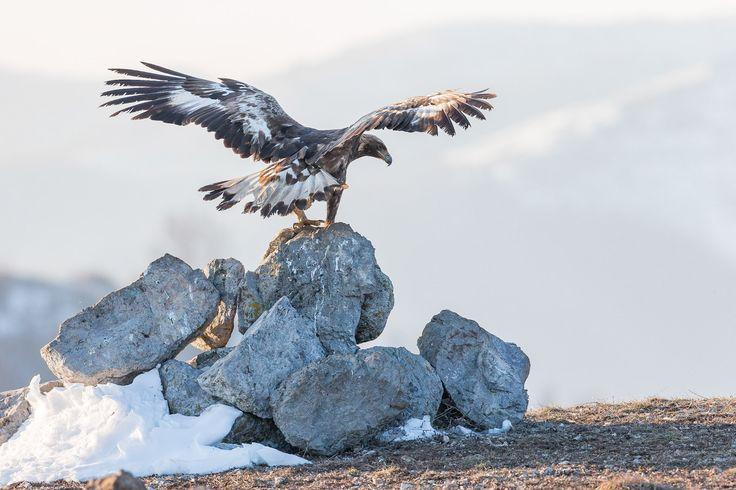Photographing Golden Eagle (Aquila chrysaetos) in Bulgaria