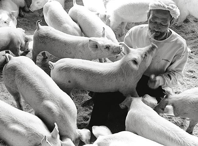 Photo by Toshiteru Yamaji. He did a series called Papa and Pig that took 10 yrs about the relationship of a single pig with a Japanese pig farmer