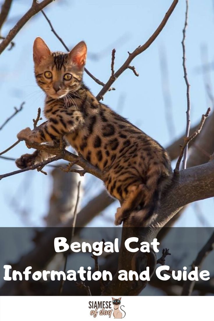 Bengal Cat Information And Guide Siamese Of Day In 2020 Bengal Cat Bengal Kitten Cats