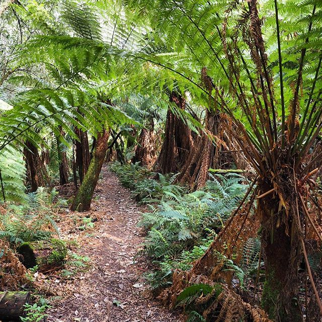 You get to walk through this amazing avenue of ferns on the Phantom Falls, Canyon & Henderson falls loop walk in the Otway National Park! #greatoceanroad