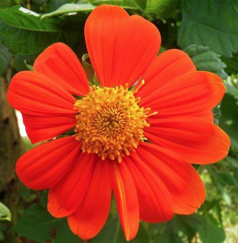 Vida es tener un jardín embellecido con esta flor naranja :3 #HosteriaMarySol en San Andres islas / bela flor / beautiful flower