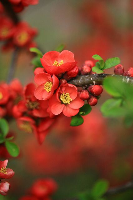 flowering quince- was the only colour in my Free State winter garden!