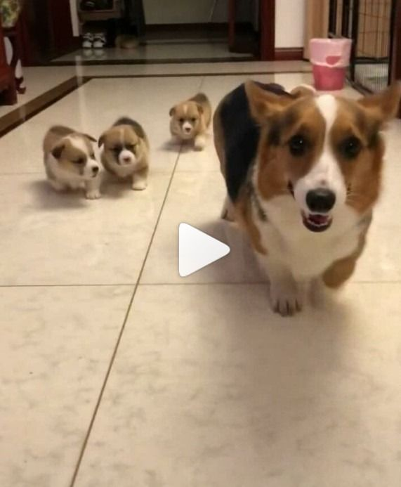 Look At These Short Legs Dogs Puppies Corgi Puppydog