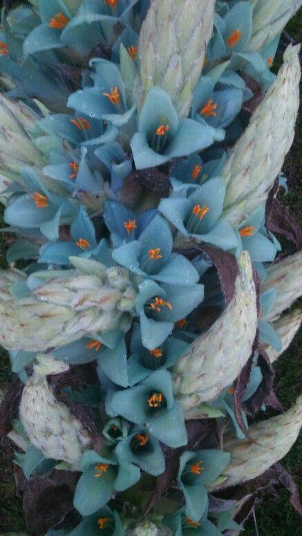 Flor del chajuar
