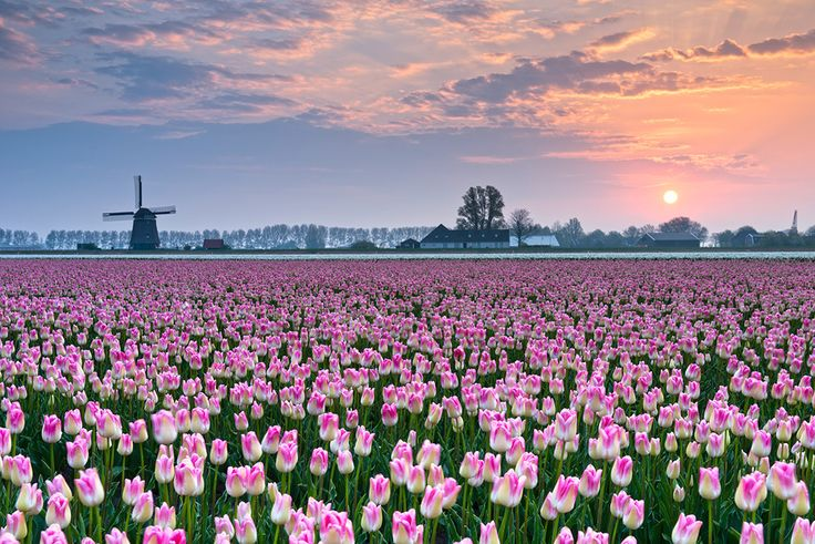 Tulipes-hollande-shutterstock-1