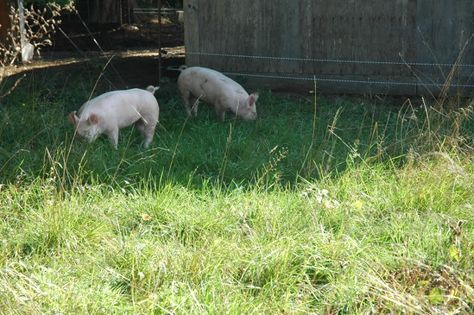 This is a GREAT blog about raising pigs! They kept ...