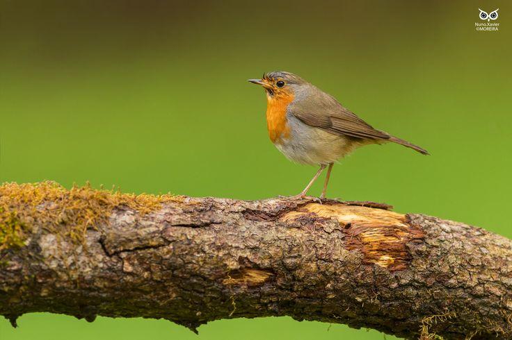 Pisco-de-peito-ruivo European robin(Erithacus rubecula)