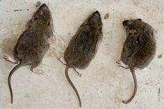 Home Remedies for Getting Rid of Rats