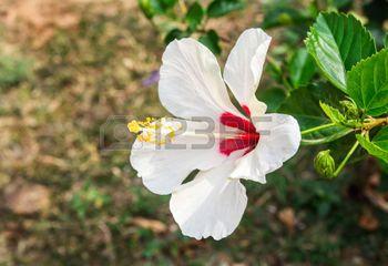 Hibiscus flor en el jard�n. Detalle de los estambres y pistilo photo