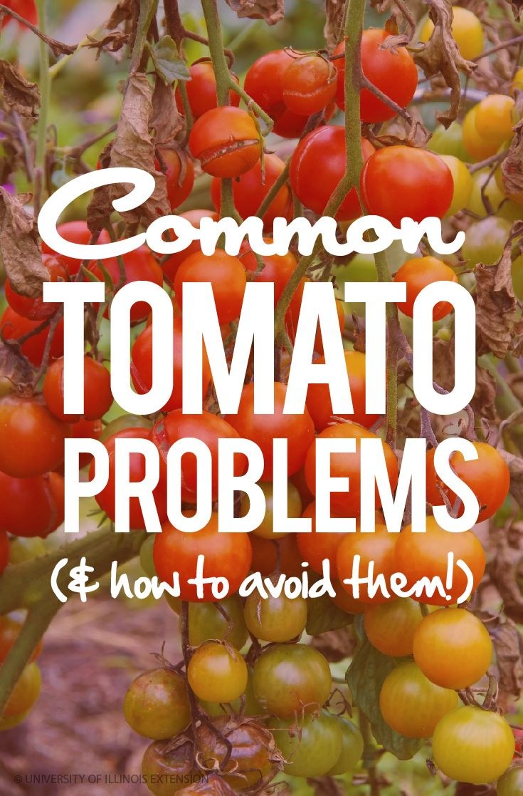 Common Tomato Problems (and how to avoid them!) #garden #gardening