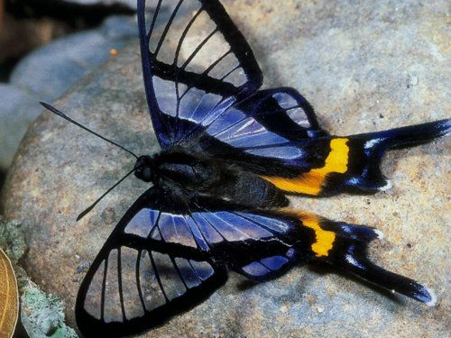 Sylphina Angel Butterfly - Chorinea sylphina http://en.wikipedia.org/wiki/Chorinea_sylphina