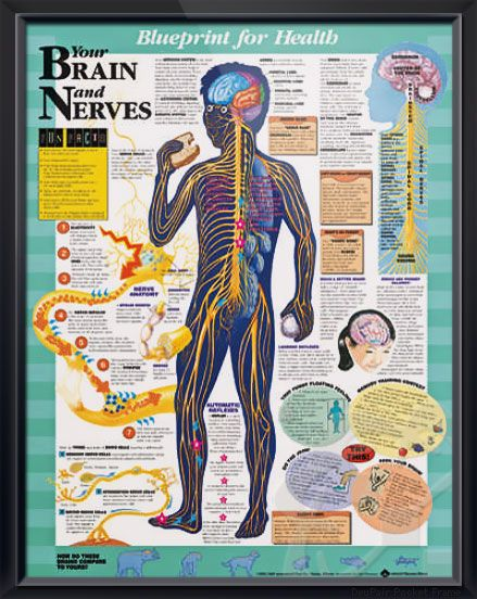 Your Brain and Nerves anatomy poster discusses learned and automatic reflexes, right brain vs left brain for pediatric office or classroom. For neurologists, pediatric doctors and educators. #backtoschool