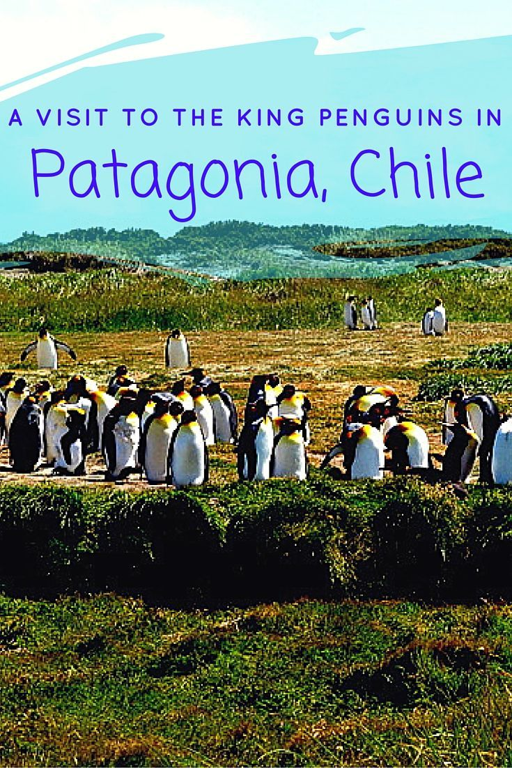 Read about A Visit to the King Penguins and Porvenir in Patagonia | Porvenir | Things To Do…