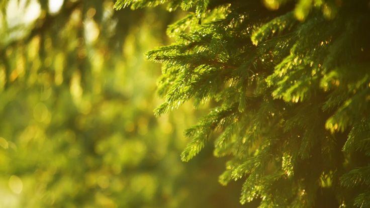 beautiful spruce tree hd wallpaper download