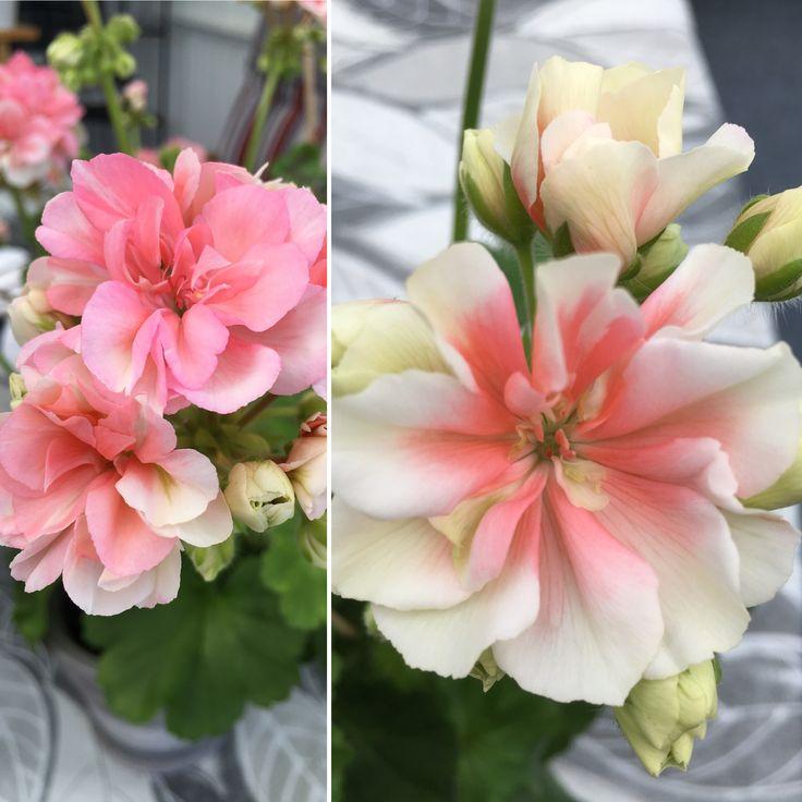 Ludwigsburger Flair, zonalpelargon.Dubbla ljust aprikosrosa blommor som mörknar mot mitten. Knopparna skiftar i grönt.