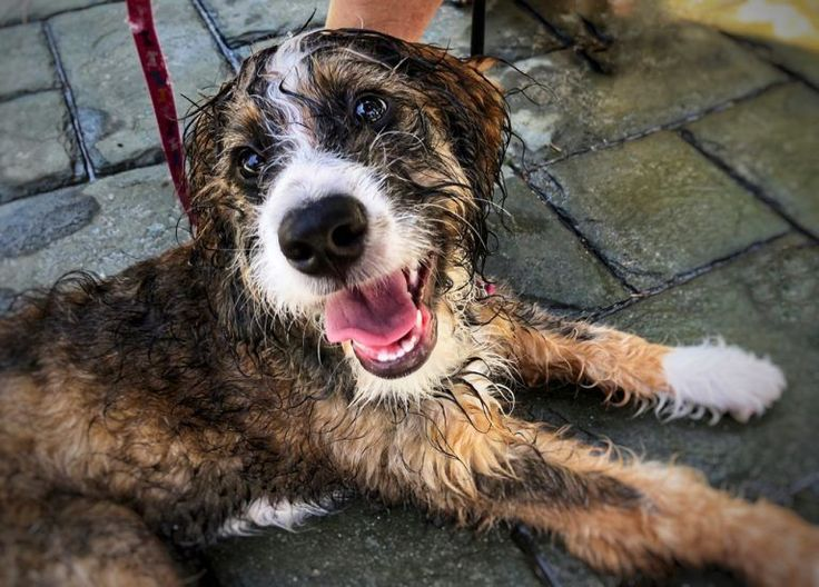 Bernedoodle dog breed info bernese mountain dog poodle