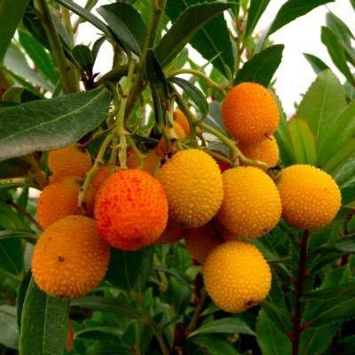 Les 17 meilleures id es de la cat gorie arbre persistant sur pinterest plante persistant haie - Arbre murier fruit comestible ...