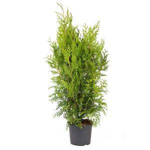 Thuja occidentalisThujaCupressaceae SypressfamilienLIGNOSE