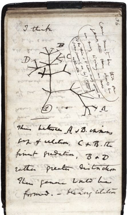 """Charles Darwin's 1837 first sketch of an evolutionary tree, prefaced by the words """"I think""""."""