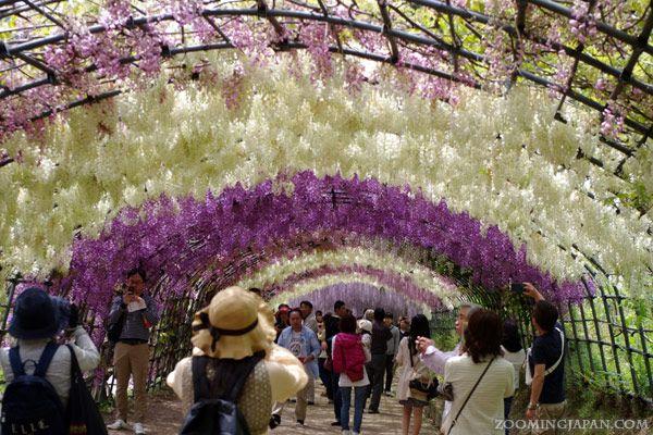 The beautiful wisteria of Kawachi Fuji Garden in Fukuoka Prefecture.