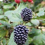 Triple Crown - Fruitbomen.net Mobiel