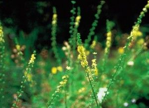 Agrimony - Benefits and Side Effects « Herbs List