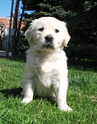 White golden retriever puppy...I NEED ONE!!!!!!!