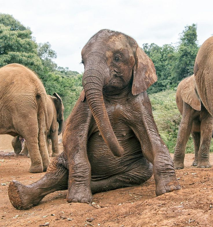 Elephant sitting down | HEVION | Pinterest | Animal ... - photo#35