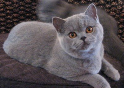 Pretty British Blue kitten