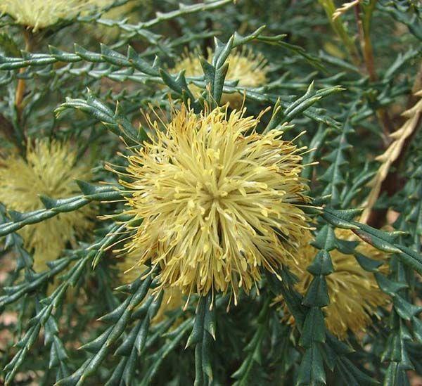 Dryandra polycephala