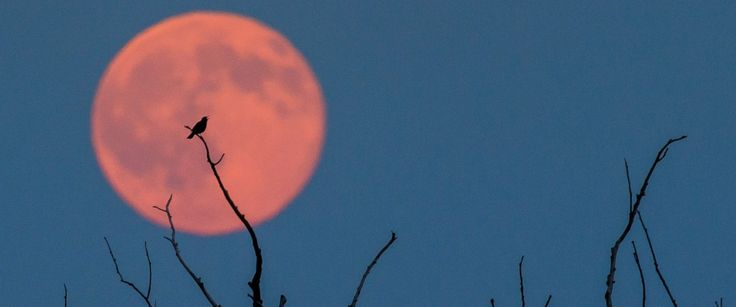 PHOTO: A bird sitting on a branch of a tree is seen in front of a full moon with a slight reddish tint in Jacobsdorf, Germany, June 21 2016.
