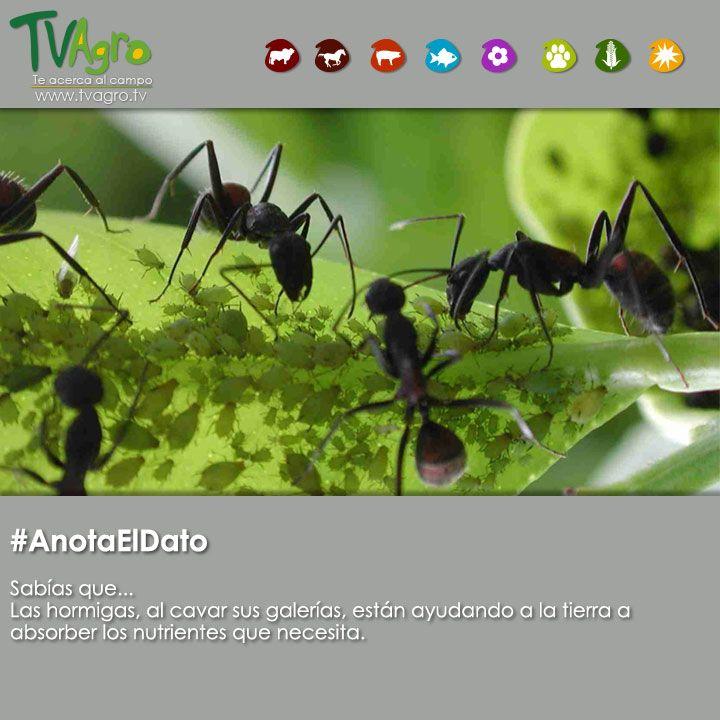 #AnotaElDato Importancia de las hormigas para la tierra.