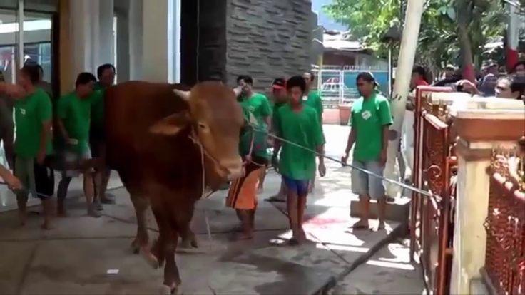 Cow Qurbani 2016    Non Professional Qasai    Anari Qasai    Funny video    Eid Ul azha