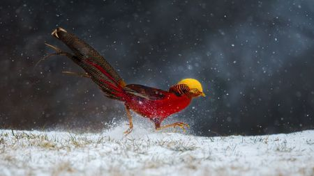 Golden Pheasant  Photo by cai luning — National Geographic Your Shot