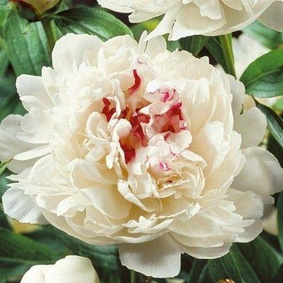 Un coeur grenat sur pétales blancs LaPivoine double blanche 'Festiva Maxima' possède des fleurs parfumées avec un beau coeur grenat sur le reste des pétales blancs. C'est une petite tâche qui fait ressortir la pureté de la fleur. En automne, le feuillage caduc et vert se pare de belles couleurs automnales. Une exposition ensoleillée et un sol frais convient pour laPivoine double blanche 'Festiva Maxima'.On rabat les feuilles une fois qu'elles sont sèches.