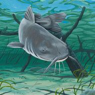 Blue Catfish Facts and Info