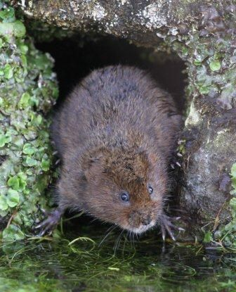 http://www.gwentwildlife.org/sites/default/files/images/Voles%20Water%20in%20a%20hole%20web%20ready.jpg