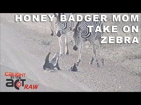 Happy Mother's Day on Sunday. Honey Badger mom ATTACKS Zebra to protect young